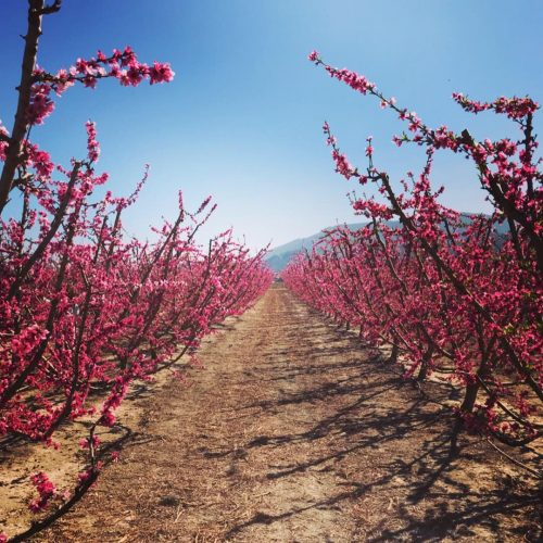 Floración de Cieza y Saborarte